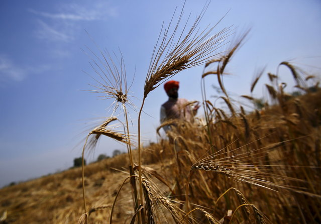 A farmer stands in his wheat field at Vaidi village in Uttar Pradesh, March 25, 2015. (Photo by Anindito Mukherjee/Reuters)