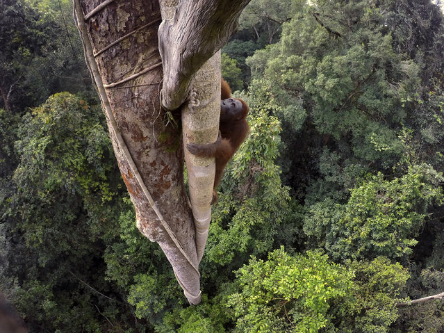 """Tough Times for Orangutans"". Nature, first prize stories. Tim Laman, USA. Location: West Kalimantan, Indonesia. A Bornean orangutan climbs over 30 meters up a tree in the rain forest of Gunung Palung National Park, West Kalimantan, Indonesia, August 12, 2015. The lives of wild orangutans are brought to light. Threats to these orangutans from fires, the illegal animal trade and loss of habitat due to deforestation have resulted in many orphan orangutans ending up at rehabilitation centers. (Photo by Tim Laman/World Press Photo Contest)"