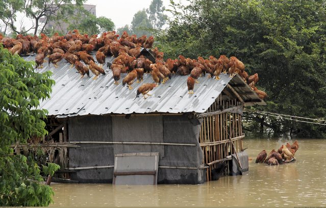 Chickens perch on the roof of a hennery to escape rising floodwaters after Typhoon Utor hit Maoming, Guangzhou province, China, August 15, 2013. (Photo by Reuters/Stringer)