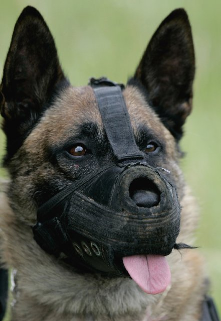 A masked dog of the  paratroop regiment is pictured during a troop exercise on June 7, 2006 in Merzig, Germany. (Photo by Ralph Orlowski/Getty Images)