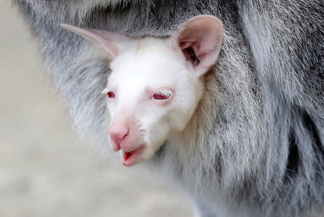 A newly born albino red-necked wallaby joey is being carried by its mother in their enclosure at the zoo in Decin, Czech Republic, March 13, 2019. (Photo by David W. Cerny/Reuters)
