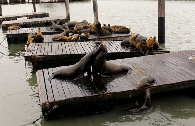 Sea lions frolick on floating docks at Pier 39 in San Francisco, California May 4, 2015. (Photo by Robert Galbraith/Reuters)