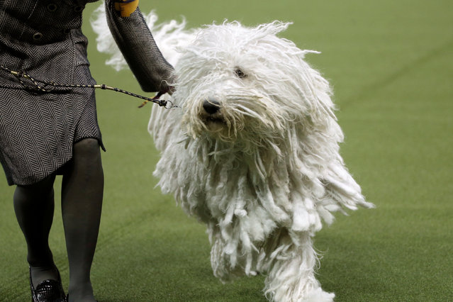 A Komondor runs during judging in the Working Group at the 141st Westminster Kennel Club Dog Show at Madison Square Garden in New York City, U.S., February 14, 2017. (Photo by Mike Segar/Reuters)