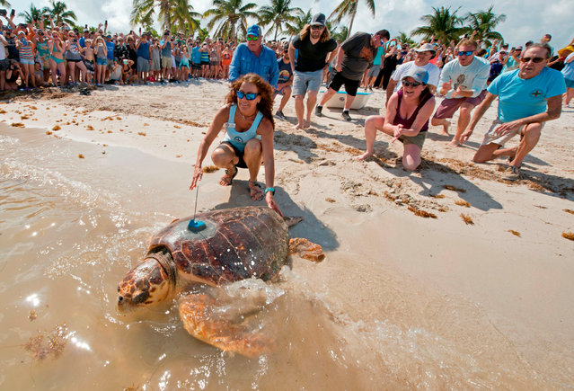 "In this handout image provided by the Florida Keys News Bureau ""Mr. T,"" an almost 200-pound loggerhead sea turtle, crawls into the Atlantic Ocean, May 7, 2019, at Sombrero Beach in Marathon, Florida. Subsequently released at a Keys beach, the adult male reptile had been rescued in early February and convalesced at the hospital following surgeries to remove a fishhook. The turtle was fitted with a satellite tag by Mote Marine Laboratory to track migratory patterns of male loggerheads. (Photo by Andy Newman/Florida Keys News Bureau/AFP Photo)"
