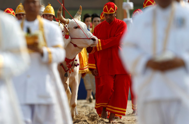 Thai officials dressed in traditional costumes walks with oxen during the annual royal ploughing ceremony  in central Bangkok, Thailand, May 9, 2016. (Photo by Athit Perawongmetha/Reuters)