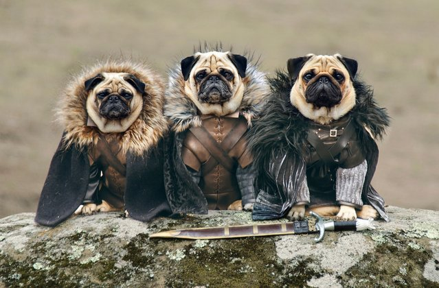 """The Pugs of Westeros"" sees Roxy, Blue and Bono playing doggy versions of the main characters, including conniving King Joffrey. The pugs' owners, Phillip Lauer (57) and his wife Sue (47), have been dressing their pugs up as characters from cinema and TV since they were puppies. They jumped at the chance of creating a picture series based on one of their favourite shows. Sue spent two weeks just creating the Iron Throne alone but it was well worth it. (Photo by Phillip Lauer)"