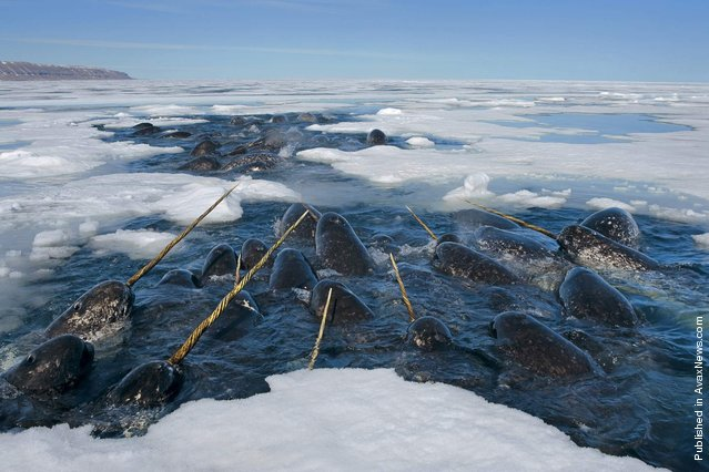 Narwhals, raising their tusks, float to the surface to breathe. Lancaster Saund, Nunavut, Canada