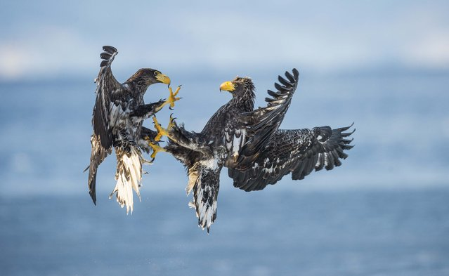 Eagles in aggressive encounter. (Photo by Wim van den Heever/Caters News)