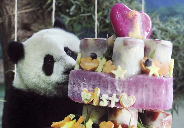 Taiwan's panda cub Yuan Zai enjoys her birthday cake, in celebration of her first birthday at the Taipei Zoo in Taipei, Taiwan, Sunday, July 6, 2014. (Photo by Chiang Ying-ying/AP Photo)