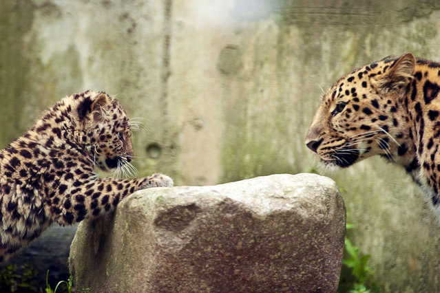 Argoun (L), a three-month-old Amur leopard (Panthera pardus orientalis) is pictured with its mother, Elixa, during its first time out at the zoo in Mulhouse, eastern France