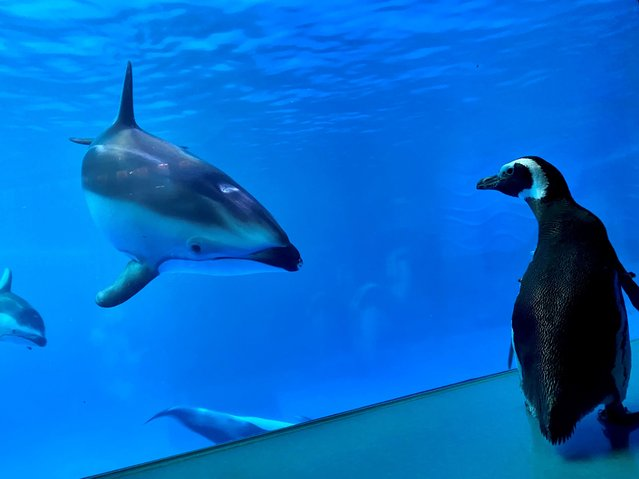 Wellington, a 32-year-old rockhopper penguin, meets other animals while exploring the Shedd Aquarium's Amazon Rising exhibit in Chicago, March 15, 2020. Without guests in the building, caretakers sent some of the penguins on a field trip. (Photo by Shedd Aquarium/Handout via Reuters)