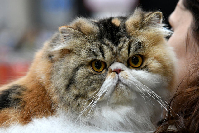 """A woman carries a Persian cat during the """"SuperCat Show 2017"""" on November 11, 2017 in Rome, Italy. (Photo by Alberto Pizzoli/AFP Photo)"""