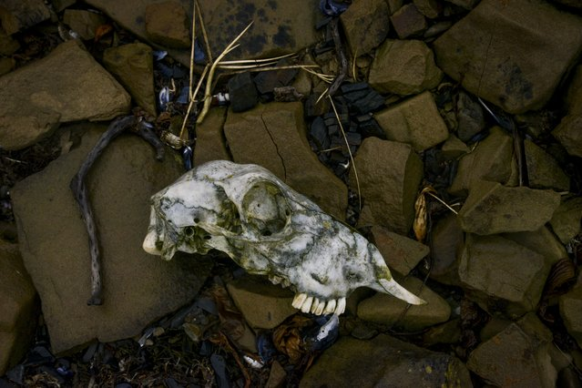 A sheep skull rests on a bed of rocks near the Argentine Military Cemetery on Monday, February 8, 2016, in Darwin, Falkland Islands.  Nearly half a million sheep populate the islands compared to roughly 2,500 people. (Photo by Jahi Chikwendiu/The Washington Post)