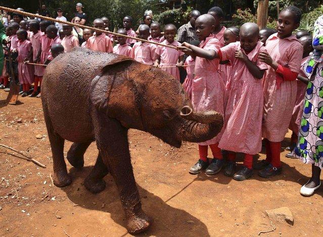 Pupils look at an orphaned baby elephant at the David Sheldrick Elephant Orphanage within the Nairobi National Park, near Kenya's capital Nairobi October 15, 2014. (Photo by Goran Tomasevic/Reuters)