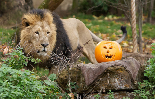 """Lions get their teeth into some tasty treats this halloween with a breakfast of pumpkins at ZSL London Zoo, on October 24, 2014. London Zoo is celebrating """"Boo at the Zoo"""" during the October half-term. (Photo by Johnathan Adam Davies/National News/ZUMAPress)"""