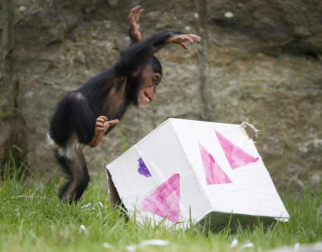 """A 13-month-old chimp named Fumo leaps onto a """"Christmas present"""" box, which contained food treats, during a Christmas-themed feeding session at Sydney's Taronga Park Zoo, December 9, 2014. (Photo by Jason Reed/Reuters)"""
