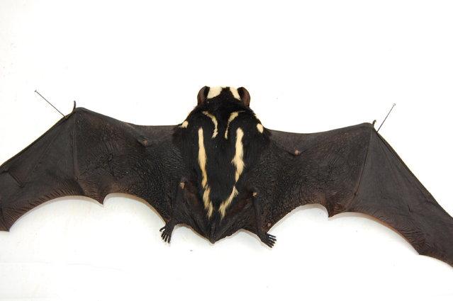 New Genus Of Bat Niumbaha superba