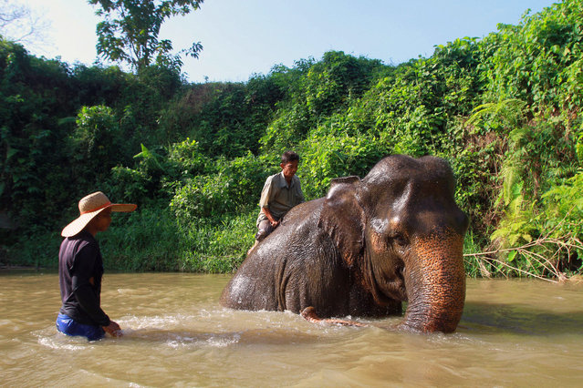 Indonesian mahouts clean their Sumatran elephant in a river near the zoo in Medan, North Sumatra, Indonesia, 12 December 2014. According media reports, the smallest of the Asian elephants, Sumatran elephant (Elephas maximus sumatrensis) is facing serious pressures arising from illegal logging and associated habitat loss and fragmentation in Indonesia. The population has come under increasing threat from rapid forest conversion to plantations. (Photo by Dedi Sahputra/EPA)