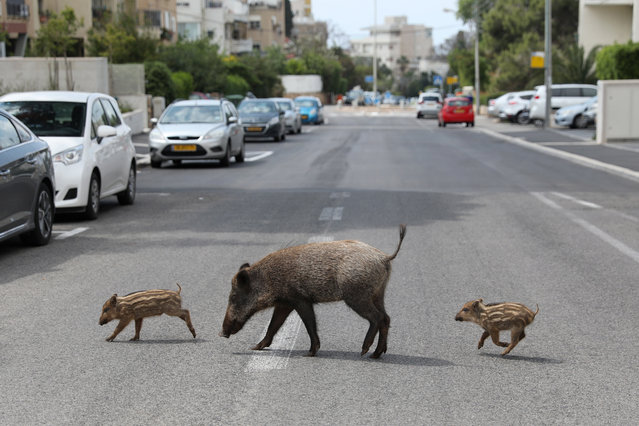 A mother and two wild boar cubs roam at a street of the Carmel neighborhoods in the northern city of Haifa, Israel, 11 April 2020. Reports state that wild animals feel safer walking around the streets of the cities as most citizens are staying back home in order to prevent the spread of the SARS-CoV-2 coronavirus which causes the Covid-19 disease. (Photo by Abir Sultan/EPA/EFE)