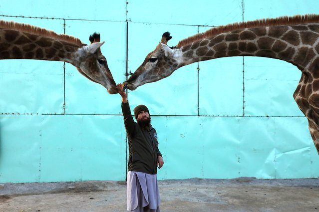 A zookeeper feeds a pair of giraffes at a zoo in Peshawar, Pakistan on December 16, 2020. (Photo by Fayaz Aziz/Reuters)
