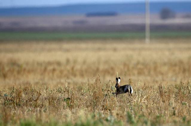 A hare runs just a moment before it was killed during a hunt in a field near the village of Novosyolki, Belarus November 5, 2016. (Photo by Vasily Fedosenko/Reuters)