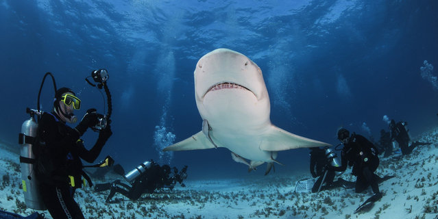 The sharks are rewarded for good behaviour and are very relaxed around the divers. (Photo by Adam Hanlon/Caters News)