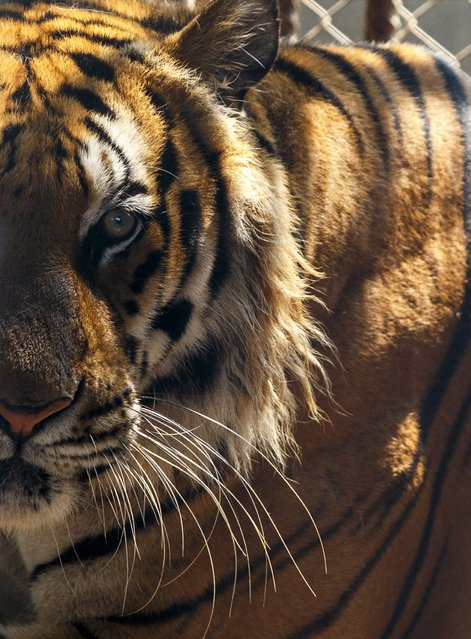 A tiger looks on inside a cage at the Wat Pa Luang Ta Bua, otherwise known as the Tiger Temple, in Kanchanaburi province February 12, 2015. (Photo by Athit Perawongmetha/Reuters)