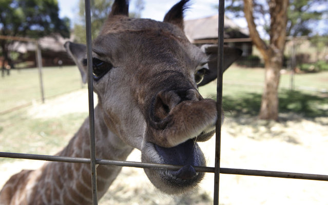 A six-day-old giraffe named baby X nibbles on his enclosure perimeter fence at the Krugersdorp, South Africa Game Reserve, near Johannesburg Friday, Nov. 8, 2013. Baby X was born prematurely on an outcrop of rocks and suffered injuries to itself with the mother giraffe unable to mother the infant. Fearing attack by predators Baby X was removed and taken into extensive care by staff and veterinarians  and is making good progress. A competition will be held to name the new born. (Photo by Denis Farrell/AP Photo)