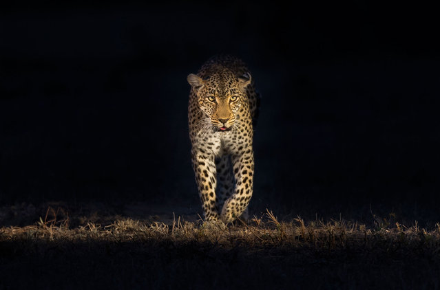 A leopard is seen walking towards the camera. (Photo by Brendon Cremer/Caters News)