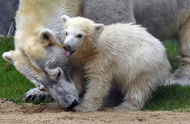 The little polar bear baby Nanook makes the first steps with her mother outside their cave at the compound at the zoo in Gelsenkirchen, Germany, April 13, 2018. The little bear was born last December and stayed with mother Lara inside until today. (Photo bt Martin Meissner/AP Photo)