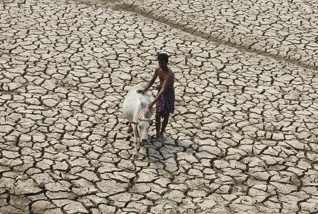A villager along with his cow walks through a parched land of a dried pond on a hot day on the outskirts of Bhubaneswar in Odisha May 2, 2014. (Photo by Reuters/Stringer)