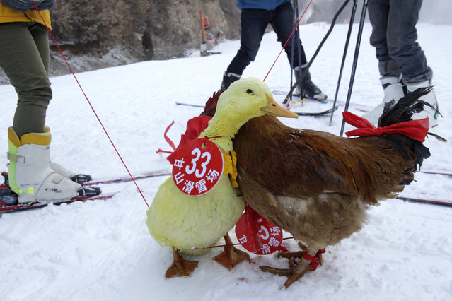 This picture taken on January 12, 2014 shows a duck and a chicken competing in a skiing competition held for pets and their owners in Sanmenxia, north China's Henan province. (Photo by AFP Photo)