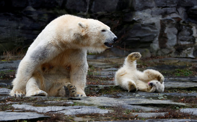 A female polar bear cub, born on December 1, 2018, is seen together with 9 year-old mother Tonja during her first official presentation for the media at Tierpark Berlin zoo in Berlin, Germany, March 15, 2019. (Photo by Fabrizio Bensch/Reuters)