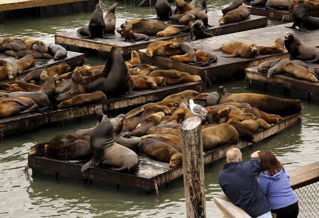 A crowd of sea lions crowd onto floating docks at Pier 39 in San Francisco, California May 4, 2015. (Photo by Robert Galbraith/Reuters)