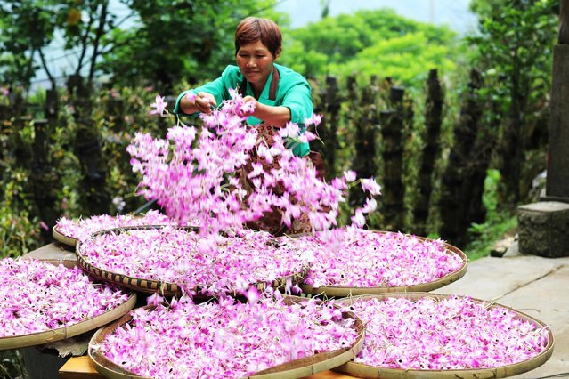 A farmer dries dendrobium nobile flowers, a type of orchid, in the village of Pingtan, southwest China on May 5, 2019. The plants are used in traditional Chinese medicine. (Photo by Wang Changyu/Alamy Live News)