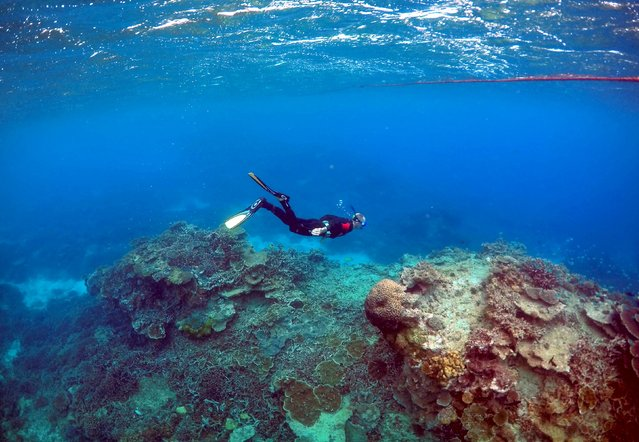 """Peter Gash, owner and manager of the Lady Elliot Island Eco Resort in the Great Barrier Reef area, snorkels during an inspection of the reef's condition in an area called the """"Coral Gardens"""" located at Lady Elliot Island, Australia, in this June 11, 2015 file photo. (Photo by David Gray/Reuters)"""