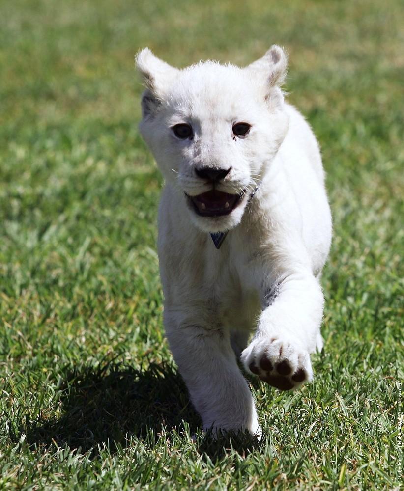 White Lion Cubs Photo Call