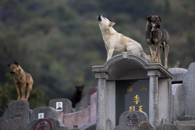 Stray dogs stand on tombs in Diamond Hill cemetery in Hong Kong, China, 04 April 2017. (Photo by Jerome Favre/EPA)