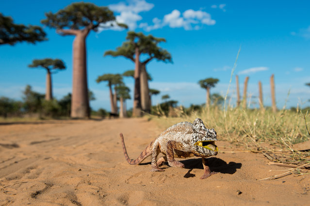 """""""Chameleon on the walk"""". Chameleons are amazing lizards. Their vision, walking or hunting skills are one of the worlds top extraordinary things most people know about. We found this one walking on the road at the Baobabs Alley on west cost of Madagascar. This species is one of the large ones, you can find the smallest on the other side of Madagascar in tropical forests. Photo location: Baobab Alley, Madagascar. (Photo and caption by Robert Hradil/National Geographic Photo Contest)"""