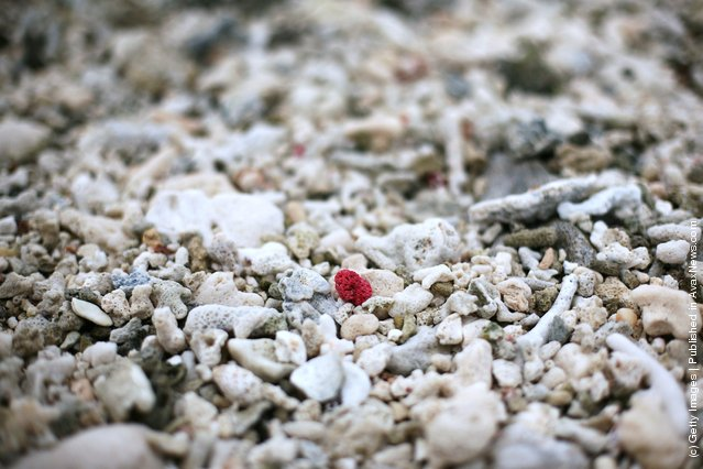 A piece of red coral is seen on the beach on January 15, 2012 at Lady Elliot Island, Australia