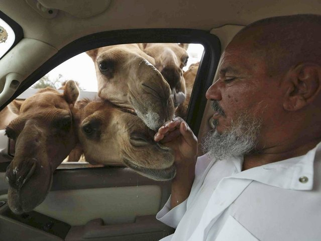 A man touches camels peering through the window of a car in Taif, on June 8, 2014. (Photo by Mohamed Alhwaity/Reuters)