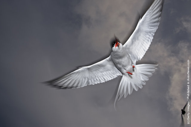 Arctic tern circling in search of profit. Arctic