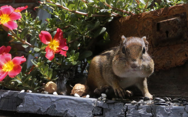 An Eastern Chipmunk fills it's cheeks with nuts and seeds on a front porch in Lawrence, Kan., Thursday, July 10, 2014. The activity of harvesting and hoarding seeds plays a crucial role in seedling establishment. (Photo by Orlin Wagner/AP Photo)