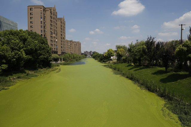 An algae-covered river is seen in Shanghai, July 30, 2014. (Photo by Aly Song/Reuters)