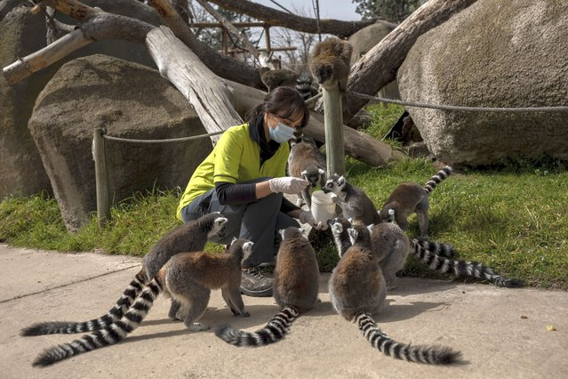 Veterinary Eva Martinez feeds lemurs during a daily check up at the Madrid Zoo, Spain, Thursday, March 19, 2020. It's feeding time for the animals and it business as usual at the Madrid Zoo and aquarium despite the state of emergency in place across Spain. Just like on the almost empty streets of the Madrid capital, the zoo workers are keeping a minimum social distancing between themselves and when possible with the animals. The vast majority of people recover from the new coronavirus. According to the World Health Organization, most people recover in about two to six weeks, depending on the severity of the disease. (Photo by Bernat Armangue/AP Photo)