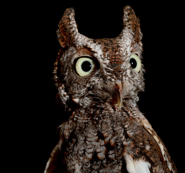The eerie call of the pint-sized Eastern screech owl sounds much more like a high-pitched warble or tremolo than a screech. Because of their small size (generally less than 9 inches in height) and adept camouflage, screech owls are much less often seen than heard. (Photo by Traer Scott/Chronicle Books)