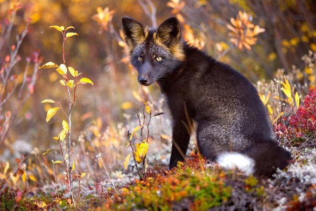 Silver Fox By Steffen Sailor