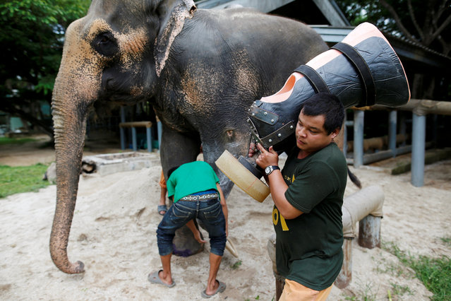 Motola, the elephant that was injured by a landmine, is prepared to have her prosthetic leg attached at the Friends of the Asian Elephant Foundation in Lampang, Thailand, June 29, 2016. (Photo by Athit Perawongmetha/Reuters)