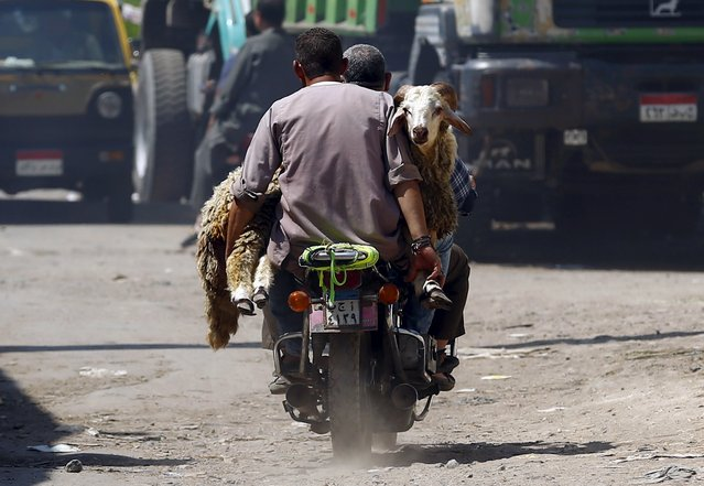 "Men transport a sheep on their motorcycle after buying it at an old cattle market named ""Al Emam Market"" ahead of the Muslim festival Eid al-Adha in Cairo, Egypt, September 19, 2015. Muslims across the world are preparing to celebrate the annual festival of Eid al-Adha or the Festival of Sacrifice, which marks the end of the annual hajj pilgrimage, by slaughtering goats, sheep. (Photo by Amr Abdallah Dalsh/Reuters)"