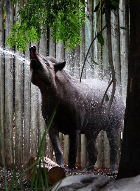 Brazilian Tapir Tique is treated to a nice cold shower by the zoo keeper at Taronga Zoo on January 8, 2013 in Sydney, Australia. Temperatures are expected to reach as high as 43 degrees around Sydney today.  (Photo by Marianna Massey)